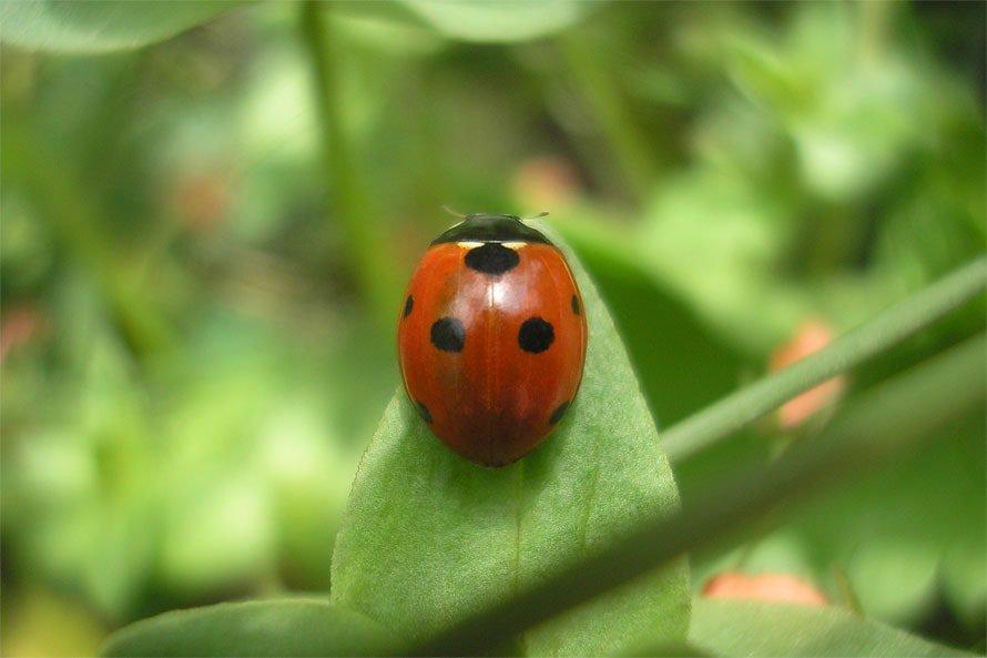 Schwarz Gepunkteter, Orange Brauner Siebenpunkt Marienkäfer Auf Einem  Grünen Pflanzen Blatt
