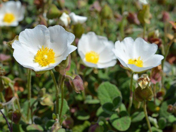 Alpenblumen - Bergblumen