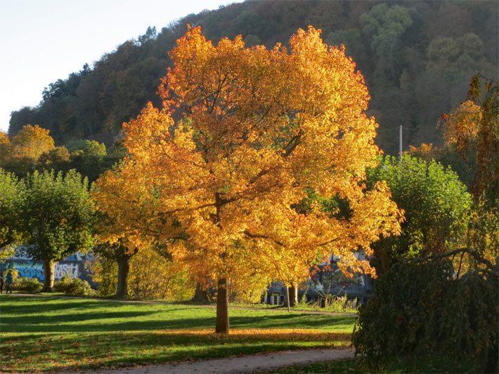 Berühmt Amberbäume (Liquidambar) - Storax (Styrax) @IO_49