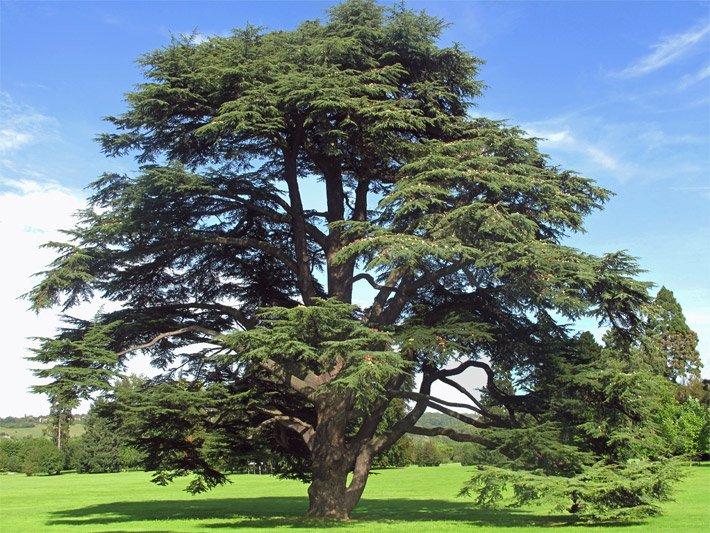 Grossbaume Der Grossbaum