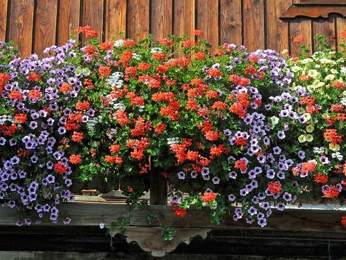 Balkonblumen Terrassenblumen Topfblumen