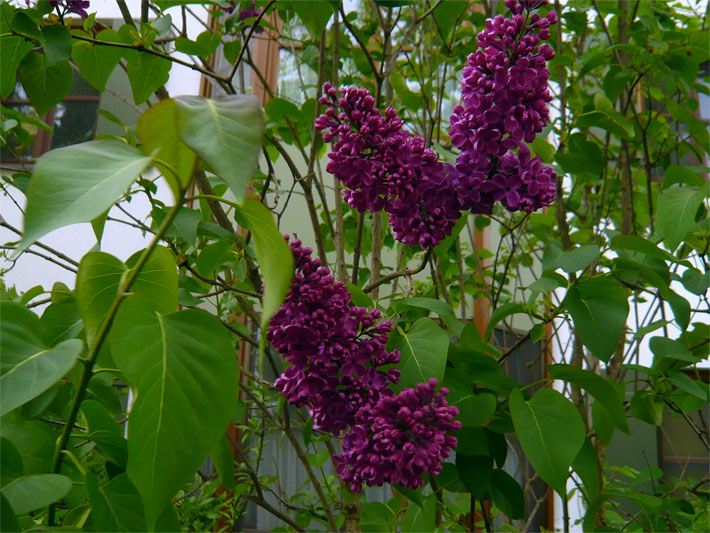 Blütensträucher - Der Blütenstrauch
