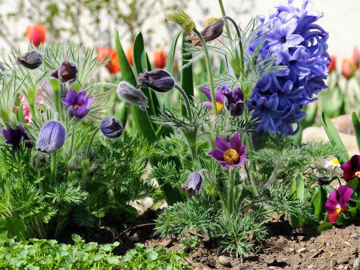 Lieblich Blumenbeet Im Frühjahr Mit Küchenschelle Bzw. Kuhschelle, Stiefmütterchen  Und Tulpen