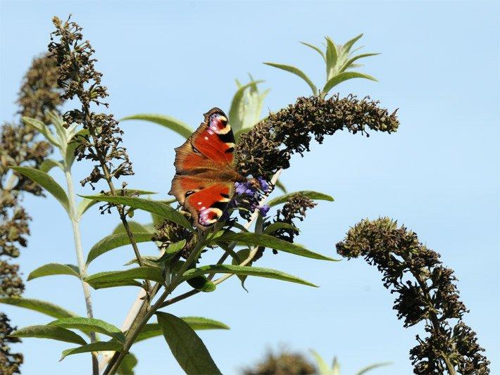 Verblühter Schmetterlingsflieder / Sommerflieder Mit Einem  Tagpfauenauge Schmetterling