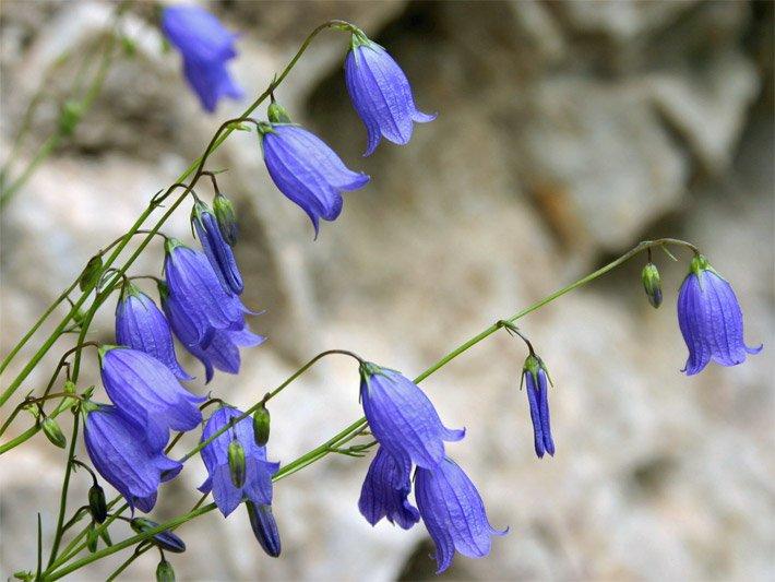 Glocken- und Trichterblumen (Becherblumen)