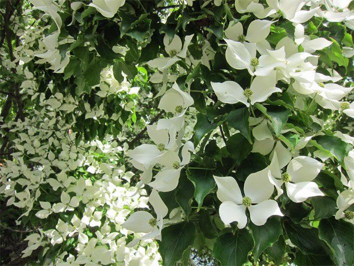 blütenbäume, Garten Ideen