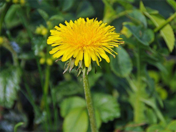 Frühlingsblumen - Frühjahrsblumen