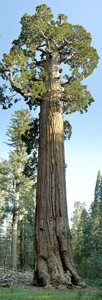 Der General Grant Tree im Kings Canyon National Park in Kalifornien