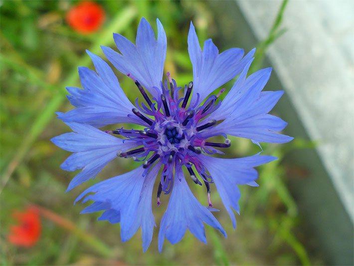 wildblumen - Garten Blumen Blau