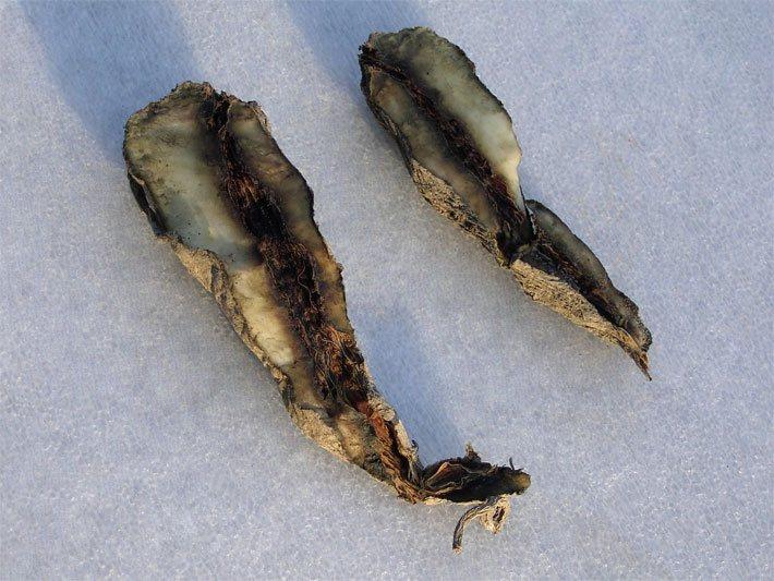 Yacon Pflanze Inkawurzel Smallanthus sonchifolius essbare leckere Knollen