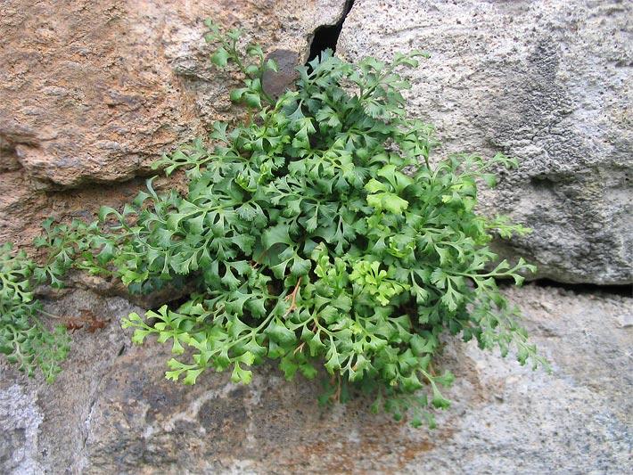 steingartenpflanzen immergrun – proxyagent,