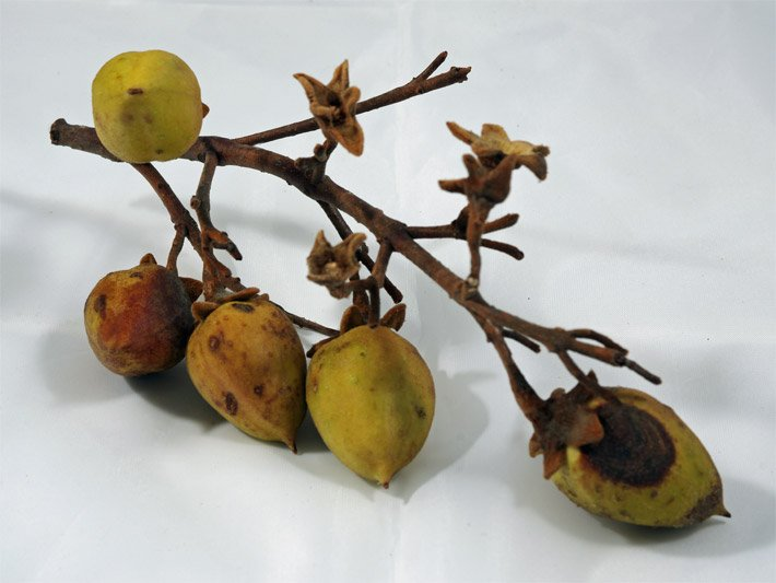 Blauglockenbaum Kiribaum Kaiserbaum Paulownia Kiriholz