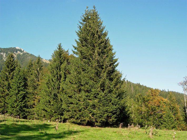Top Fichten und Fichtenbäume @DY_34