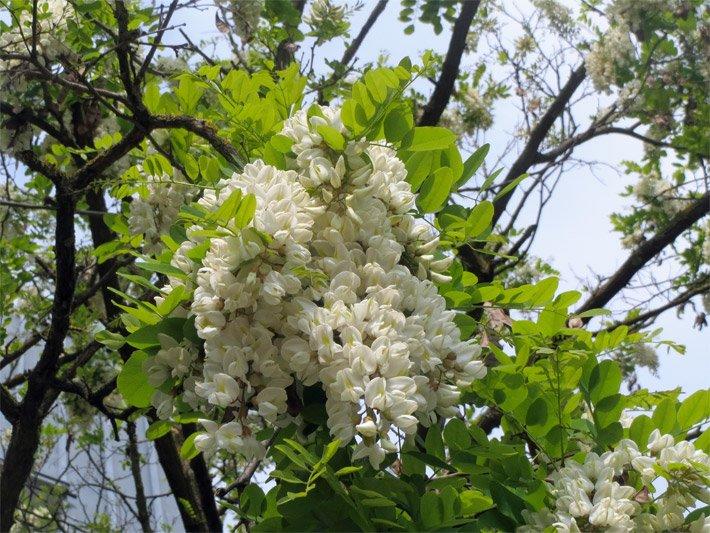 blütenbäume, Garten und erstellen