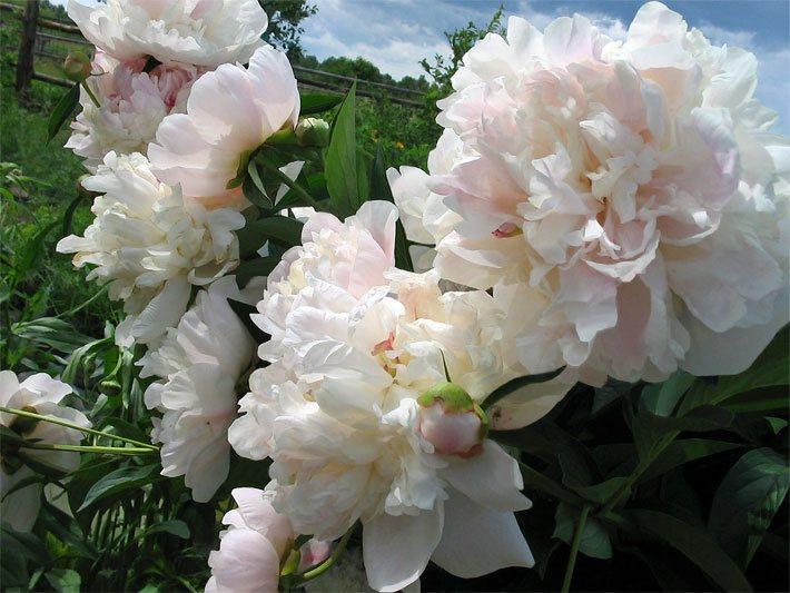 Duftblumen - Die Duftblume