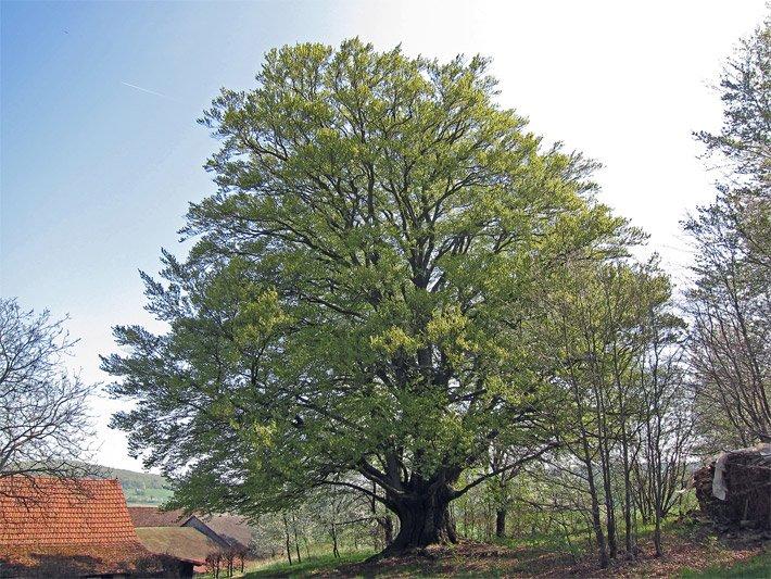 Großbäume Der Großbaum
