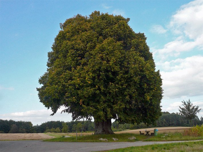 Großbäume - Der Großbaum