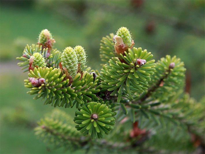Tannenarten Weihnachtsbaum.Tannen Und Tannenbäume