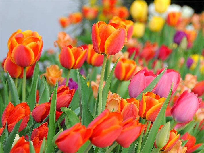 Rot-orange Tulpen in einem Blumenbeet