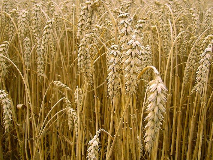getreide und korn die getreidearten und getreidesorten