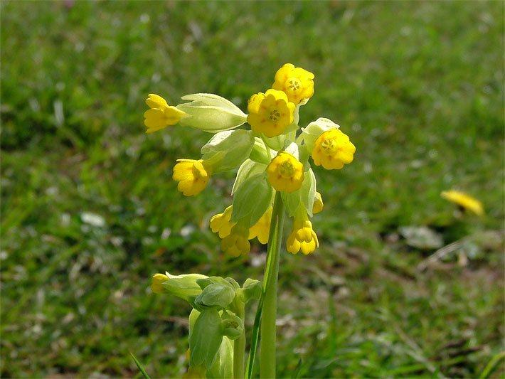 gelb blühende pflanzen und blumen bestimmen | juliedeane, Terrassen ideen