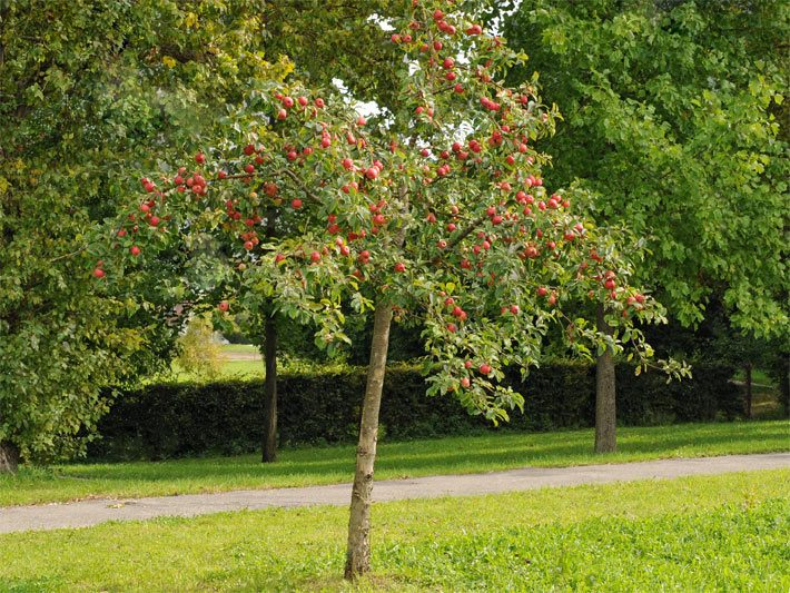 Kleinbäume Der Kleinbaum